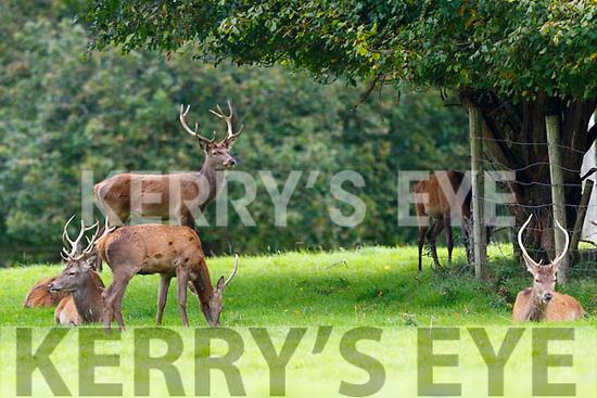 Deer in Killarney National Park on Tuesday