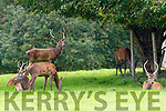 Deer in Killarney National Park on Tuesday