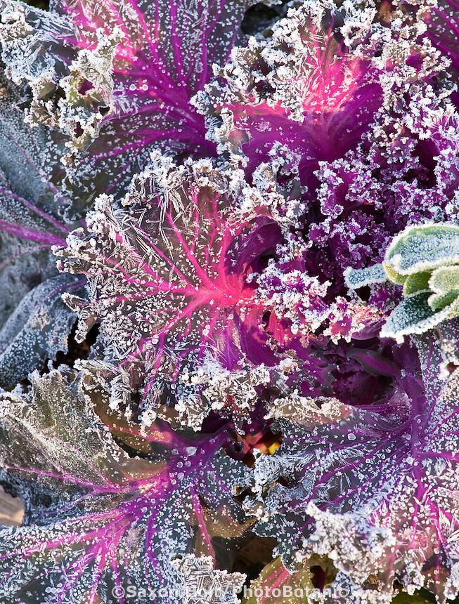 Frost on Chidori Kale leaf, cold frosty morning in LynMar Winery edible winter garden