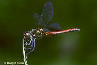 1O05-019z  Dragonfly - adult