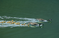 Canada Geese pair with chicks. British Columbia. Canada. (Branta canadensis).