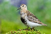 Adult Rock Sadnpiper Calidris ptilocnemis ptilocnemis) of the Pribilof Island race in breeding plumage. St. George Island, Alaska. July.