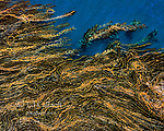 Kelp Forest, Laminariales, East Anacapa Island, Channel Islands National Park, California