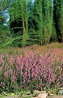 Heide mit Besenheide, Heidekraut, Calluna vulgaris, Common Heather, Scots Heather, ling und Wacholder, Juniperus communis, Common Juniper