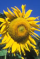 Helianthus annus 'Mammoth' annual sunflower against blue sky