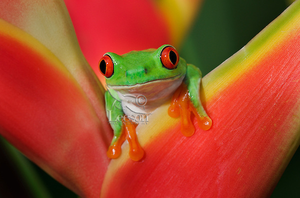 Cute Red-eyed Tree Frog (Agalychnis callidryas) making direct eye contact while holding onto colorful tropical flower. Central America wildlife.
