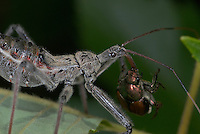 A juvenile Wheel Bug (Arilus cristatus), a member of the Assassin Bug Family, attacks a Japanese Beetle (Popillia japonica), slowing sucking the life out of it. The Wheel Bug prowls foliage and flowers, looking for other insects to slay, often claiming victims larger than themselves. Wheel bugs are native throughout the Central and Eastern US and Canada. Defensive bites of Assassin Bugs are excruciatingly painful.