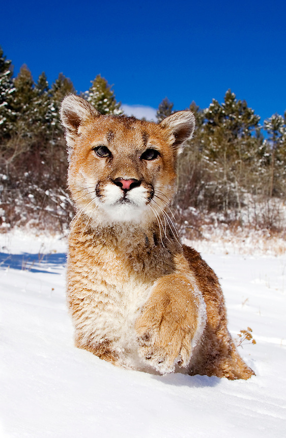 Young mountain lion (Felis concolor) exploring in fresh snow, raises paw as if to shake hands