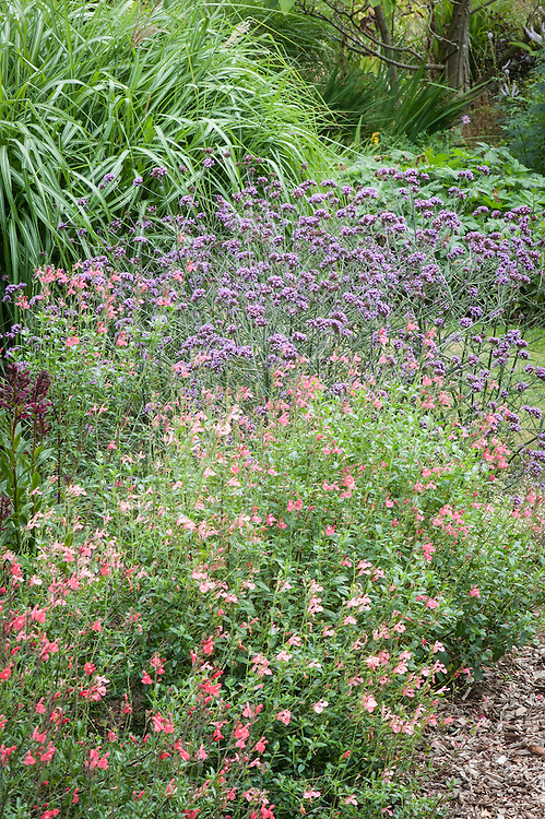 Pink Salvias and Verbena bonariensis, mid August, Great Comp, Kent.
