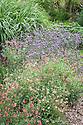 Pink Salvias and Verbena bonariensis, mid August, Great Comp, Kent.