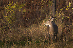 Young white-tailed buck in a northern Wisconsin field.