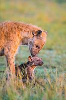 Spotted hyena (Crocuta crocuta) mother animal with cub, Masai Mara National Reserve, Kenya, Africa