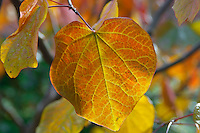 close up of colourful of reds, orange and yellows  autumn leaves on a tree with the light coming through them.