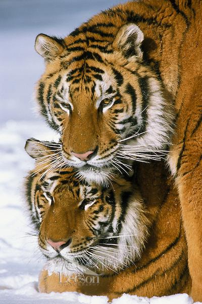 Siberian Tigers (Panthera tigris), Endangered Species.