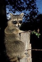 Raccoon (P. Locomotor) climbing out of country garden in evening
