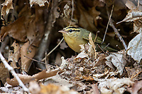 Worm-eating Warbler (Helmitheros vermivorum), female building a nest at Doodletown, Bear Mountain State Park, New York.