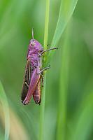 Heide-Grashüpfer, Heidegrashüpfer, Liniierter Grashüpfer, Panzers Grashüpfer, Weibchen, Stenobothrus lineatus, stripe winged grasshopper, stripe-winged grasshopper, lined grasshopper, female, le sténobothre ligné, le criquet du brachypode