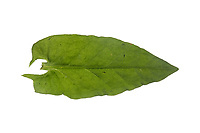 Sauerampfer, Wiesen-Sauerampfer, Sauer-Ampfer, Großer Sauerampfer, Ampfer, Rumex acetosa, Common sorrel, sorrel, garden sorrel, spinach dock, narrow-leaved dock, l'Oseille commune, Grande oseille, Oseille des prés, vinette. Blatt, Blätter, leaf, leaves