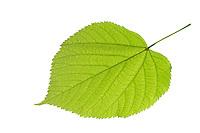 Amerikanische Linde, Tilia americana, American basswood, American linden, Le Tilleul d'Amérique. Blatt, Blätter, leaf, leaves, Blattunterseite