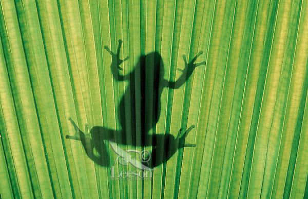 Pacific Tree Frog silhouette..Southern British Columbia. Canada..Spring. Hyla regilla.