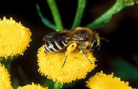 Seidenbiene, Gemeine Seidenbiene, Buckel-Seidenbiene, Buckelseidenbiene, Colletes daviesanus, Davies' Colletes, plasterer bee, la collète commune, Seidenbienen, plasterer bees