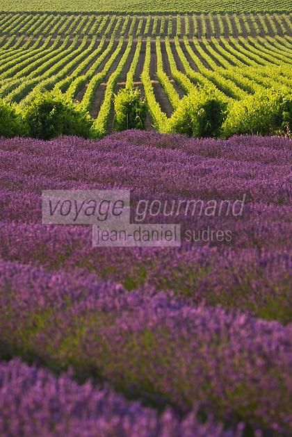 Europe/France/Rhône-Alpes/26/Drôme/Env de Vinsobres: le vignoble AOC Côtes du Rhône et champ de lavande