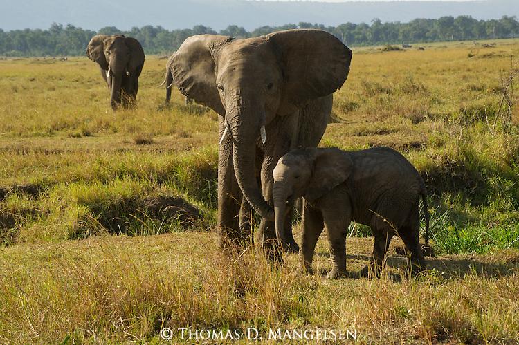 An elephant walks with her young in Masai Mara, Kenya.