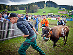 """A cow is pulled our of the arena during Queen Fight tournament in the village of Villarlod in the Fribourg Canton Saturday  April 26,  2014.  Each year, a series of cow fights known as combats de reines (""""queen fights""""), which began in the 1920s are held in Swiss villages. The winner is called La Reine des Reines (""""the queen of queens""""). Once a year, a grand final is held in Aproz, where the six best from seven districts do battle in six weight categories. Photo by Eyal Warshavsky"""