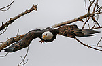 A bald eagle sits in a tree in north Carson City, Nev., on Friday, Feb. 1, 2019. <br /> Photo by Cathleen Allison/Nevada Momentum