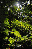 Sun spotting through fern leaves in rainforest (Licence this image exclusively with Getty: http://www.gettyimages.com/detail/102918621 )