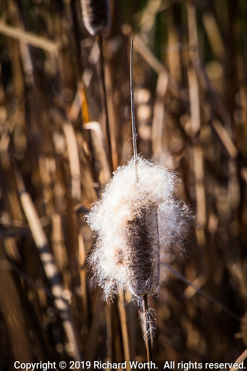 A cattail, releasing its seeds along the shoreline of the duck pond at a neighborhood park.