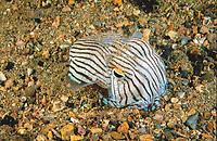 striped pyjama squid, Sepioloidea lineolata, Edithburgh Jetty, Yorke Peninsula, South Australia, Southern Ocean