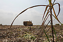 Cambodia - Kampong Speu Province - Sugarcane being loaded on trucks. 12,000 to 14,000 tons of sugarcane are brought to the Phnom Penh factory alone every day. Trucks run on the villages main road from sunrise until midnight.