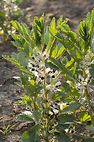 2-6-2021 Beans flowering  <br /> ©Tim Scrivener Photographer 07850 303986<br />      ....Covering Agriculture In The UK....