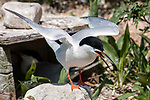 Roseate tern standing next to nesting box on Bird Island, Marion, Massaachusetts flapping its' wings.