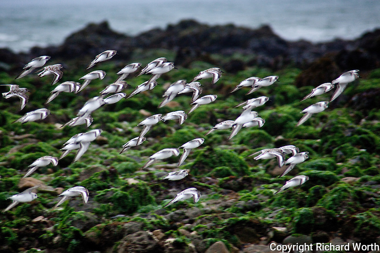 Small groups and individuals have joined together and begun a synchronized survey of the Pescadero State Beach.