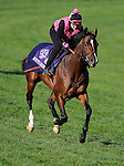 4 November 2010:  Society's Chairman, trained by Roger L. Attfield and to be ridden by jockey Julien Leparoux, during work outs for the 2010 Breeders Cup at Churchill Downs in Louisville, Kentucky.(Scott Serio/Eclipse Sportswire)