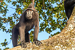 Sulawesi or Celebes crested macaque or Sulawesi or Celebes black macaque (Macaca nigra)(known locally as yaki or wolai). Tangkoko National Park, Sulawesi, Indonesia.