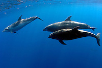 Bottlenose Dolphin (Tursiops truncatus) swim underwater off Darwin Island in the Galapagos Islands of Ecuador.