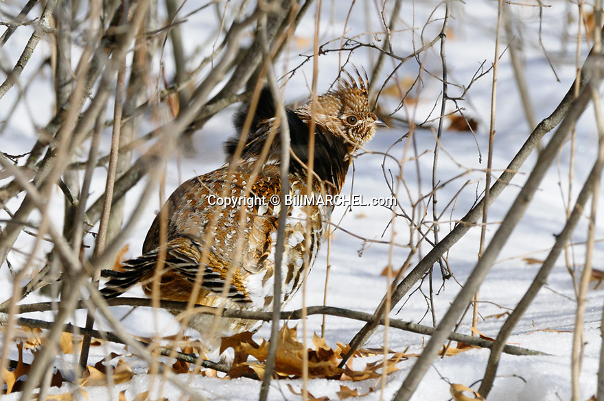 00515-071.03 Ruffed Grouse red phase bird is in heavy cover of hazel during winter.  Snow, hunt, cold, survive, catkins, ruff, feed.