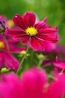 Cosmos bipinnatus 'Casanova Violet'