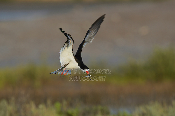 Black Skimmer (Rynchops niger), adult in flight with fish prey, Port Isabel, Laguna Madre, South Padre Island, Texas, USA