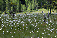 Scheiden-Wollgras, Scheidenwollgras, Moor-Wollgras, Scheidiges Wollgras, Schneiden-Wollgras, Wollgras, Wollgräser, Moor, Moorgebiet, Flachmoor in den Alpen, Eriophorum vaginatum, hare's-tail cottongrass, tussock cottongrass, sheathed cottonsedge, cottongrass, cottonsedge, cotton-grass, cotton-sedge