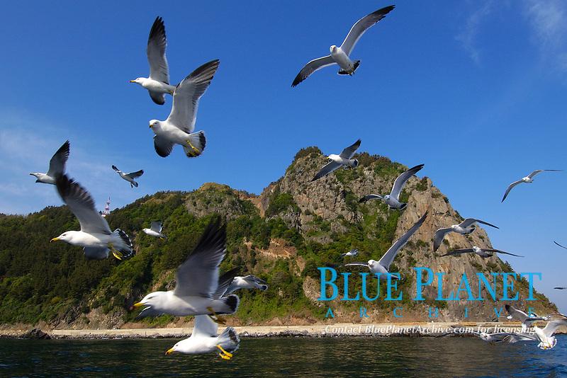 bird, Flock of gulls, Larus sp. flying, Ulleungdo, South Korea