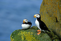 Horned Puffins on rocky ledge at Round Island, Walrus Islands State Game Sanctuary, Alaska, AGPix_0193.