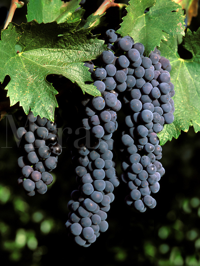 A beautiful cluster of CABERNET SAUVIGNON wine grapes is ready for harvest