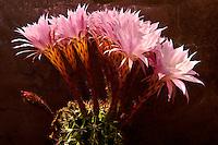 Echinopsis oxygona growing outdoors on the Cyclades Islad of Ios, Greece