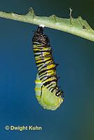 MO06-597z  Monarch forming a Chrysalis - Danaus plexipuss...