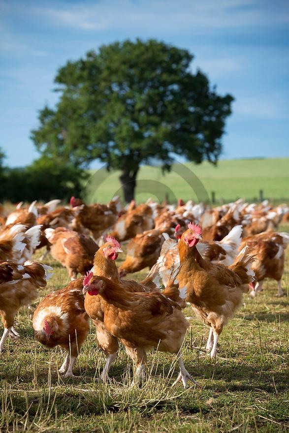 13/06/19 - ORVAL - CHER - FRANCE - Elevage de poulets Bio de Benoit VERGER - Photo Jerome CHABANNE