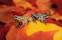 Pacific Tree Frogs in backyard garden with autumn maple leaves..Southern British Columbia. Canada..(Hyla regilla).